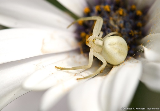 Flower Crab Spider, Guarding the Web