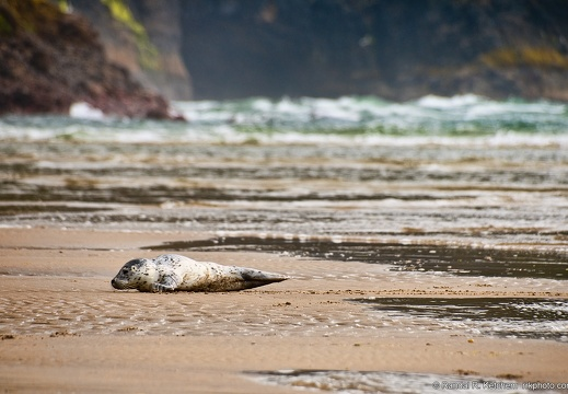 Seal at Cape Lookout, Resting