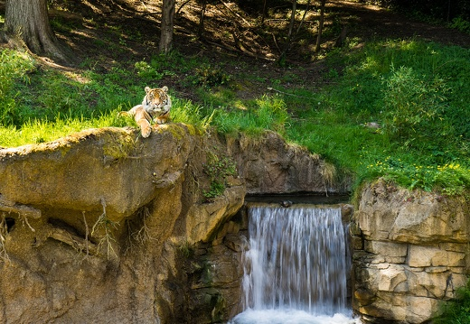 Tiger Over Waterfall, Point Defiance Zoo