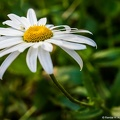 Flower Crab Spider on a White Daisy