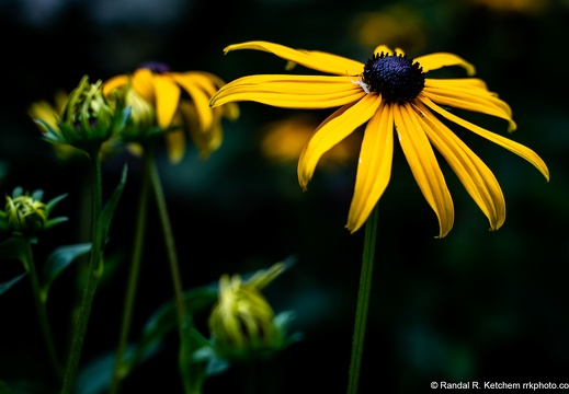 Flower Crab Spider Upside Down on a Black-eyed Susan