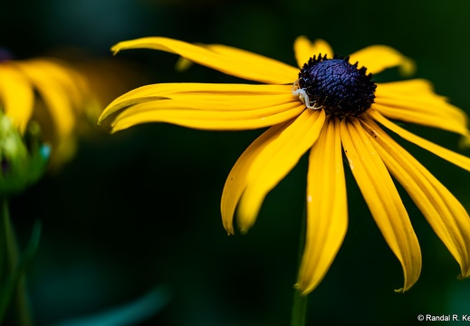 Flower Crab Spider Waiting on a Black-eyed Susan
