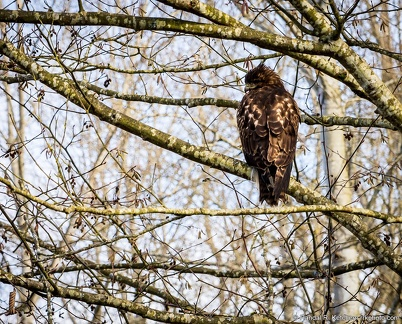 Red Tail Hawk, Cold Shoulder, Lowell Riverfront Trail