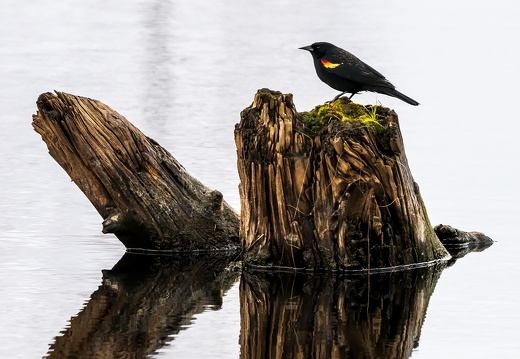 Red-winged Blackbird, Stump in Water