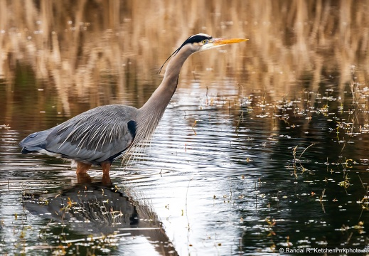 Great Blue Heron, Finish Line