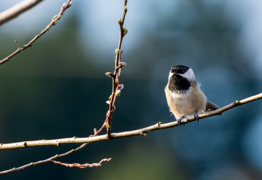Black-capped Chickadee, Spring Branch