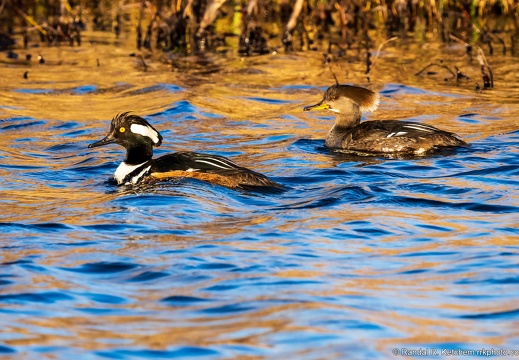Hooded Mergansers, Together