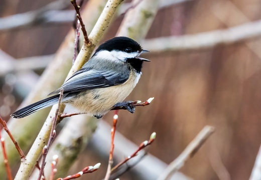 Black-capped Chickadee, Singing