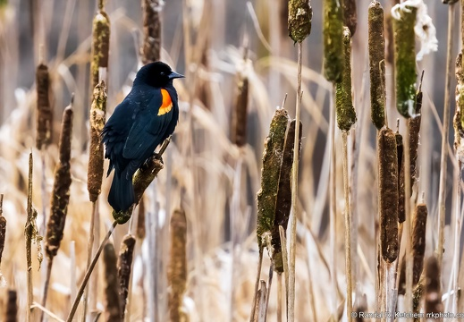 Red-winged Blackbird on Cattail, Wetlands