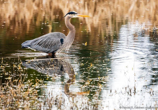 Great Blue Heron, Wading in the Wetlands