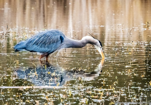 Great Blue Heron, Spearing Dinner