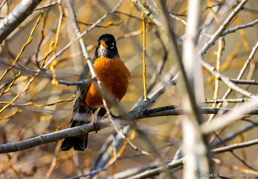 American Robin Amongst the Branches