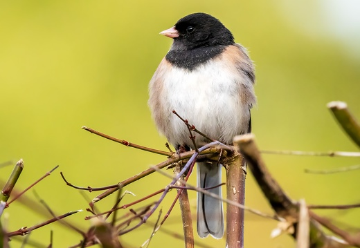 Dark-eyed Junco, Puffy