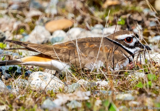 Killdeer, Hiding in Plain Sight
