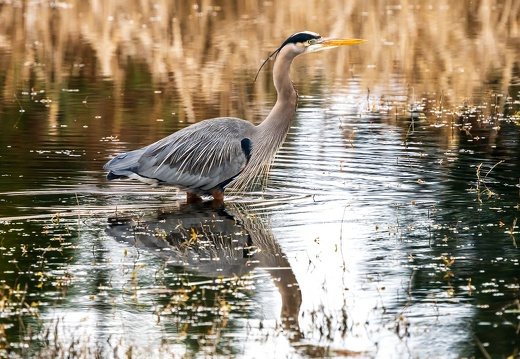 Great Blue Heron, Stately Gaze